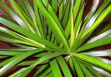 Комнатные растения: Драцена