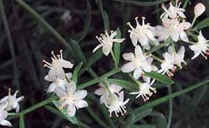 Цветок аспарагуса Шпренгера