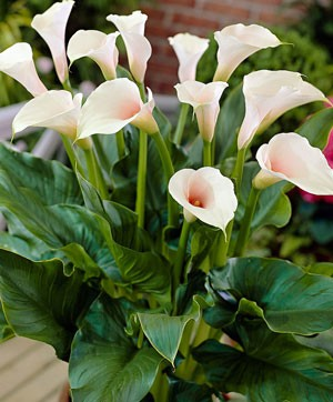 цветы зантедескии