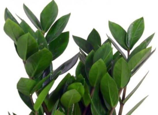 комнатные растения: Замиокулькас или доларовое дерево