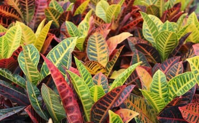 Комнатные растение Кротон