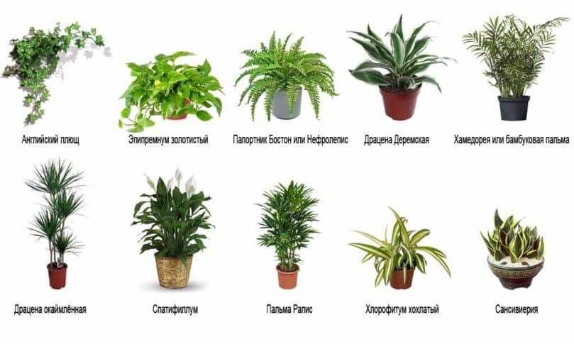 растения, очищающие воздух в доме