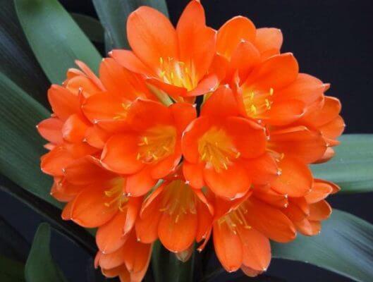 Кливия оранжевая