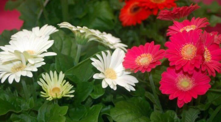 Цветок гербера.уход