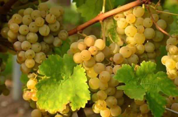 Виноград полезен для здоровья